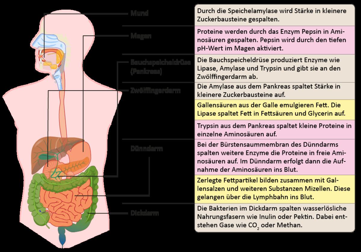 Beste Magen Verdauung Fotos - Menschliche Anatomie Bilder ...